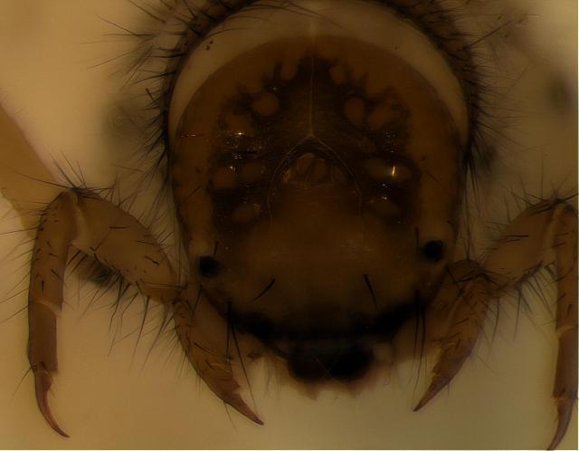 Image of Helicophidae