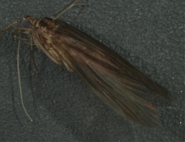 Image of Ecnomus