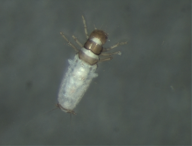 Image of Philorheithridae