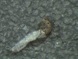 Image of Conoesucidae