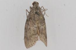 Image of <i>Pococera aplastella</i> Hulst 1888
