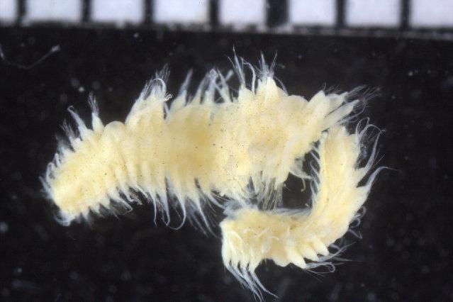 Image of Vigtorniella