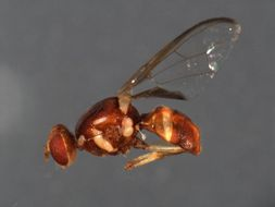 Image of Fruit fly