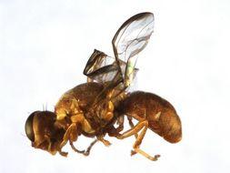 Image of <i>Dacus bellulus</i> Drew & Hancock 1981