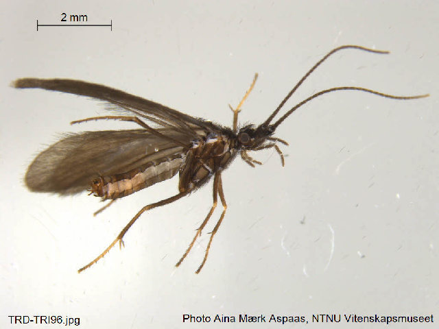 Image of <i>Beraea pullata</i> (Curtis 1834)