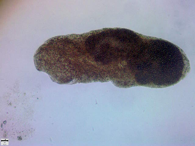 Image of Cryptogonimidae