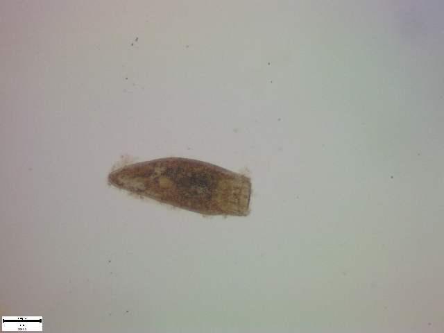 Image of Bucephalidae