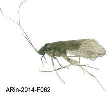 Image of <i>Hydropsyche contubernalis borealis</i>