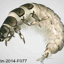 Image of <i><i>Hydropsyche</i></i> (Hydropsyche) <i>pellucidula</i> (Curtis 1834)