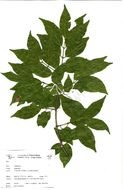 Image of combretum family