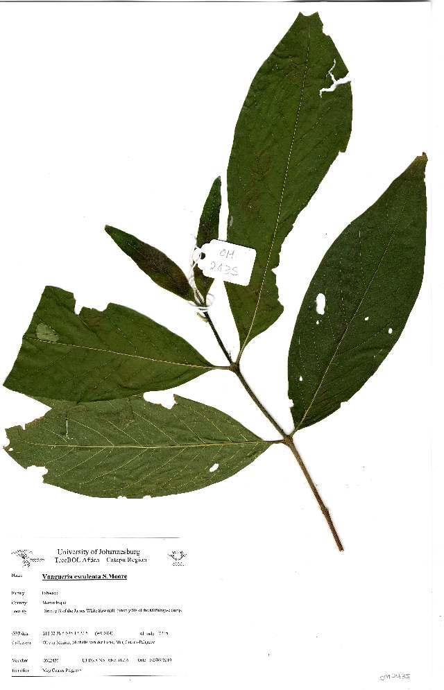 Image of <i>Vangueria esculenta</i> S. Moore