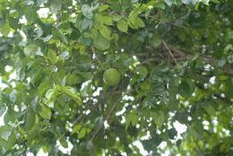 Image of Natal orange