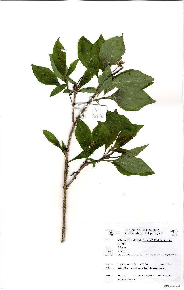 Image of <i>Chazaliella abrupta</i> (Hiern) E. M. A. Petit & Verdc.