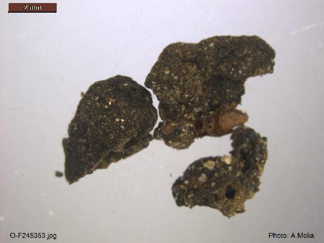 Image of Pachyphloeus