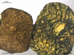 Image of <i>Chamonixia caespitosa</i> Rolland 1899