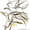 Image of <i>Pteleopsis myrtifolia</i> (M. A. Lawson) Engl. & Diels