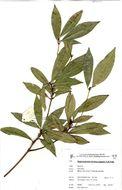 Image of Forest stem-fruit
