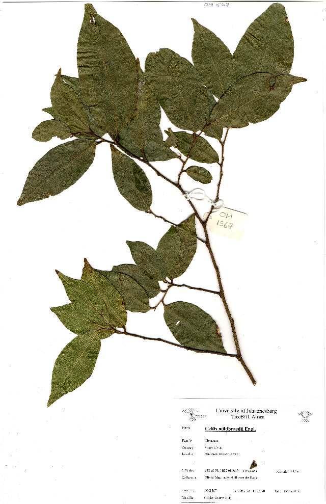 Image of Red-fruited white-stinkwood