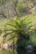 Image of treefern