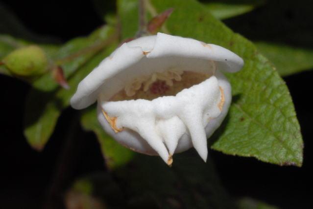 539.tsa om mvdb72 bowkeria verticillata 2 1328719684 jpg