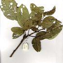 Image of Apple-leaf