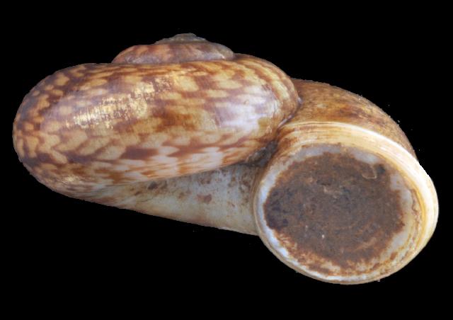 Image of Cyclotus