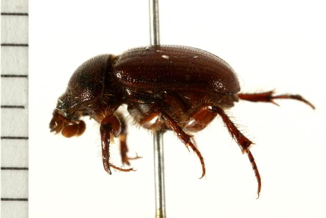 Image of <i>Xenochodaeus simplex</i> (Le Conte 1854)