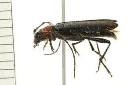 Image of <i>Pronocera <i>collaris</i></i> collaris