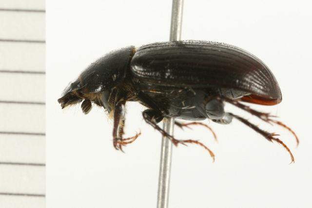 Image of <i>Agoliinus anthracus</i> Gordon & Skelley 2007