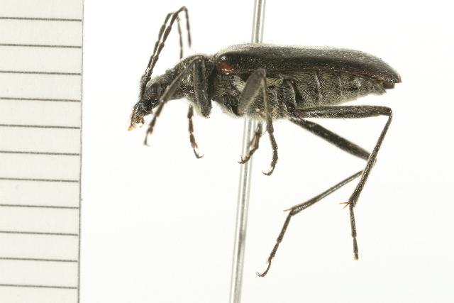 Image of <i>Acmaeops proteus</i> (Kirby 1837)