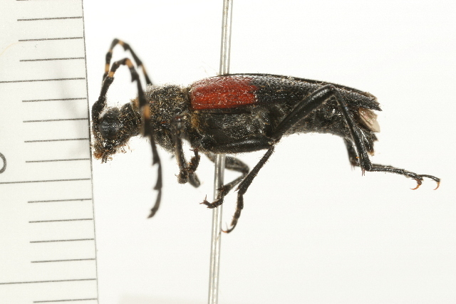 Image of <i>Stictoleptura <i>canadensis</i></i> canadensis