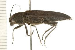 Image of <i>Arhopalus foveicollis</i> (Haldeman 1847)