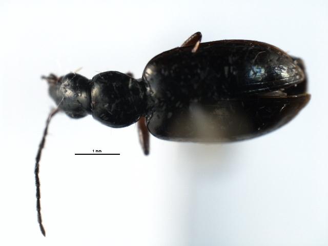Image of <i>Agonum</i> (<i>Olisares</i>) <i>aeruginosum</i> Dejean 1828