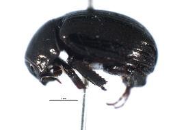 Image of <i>Germarostes aphodioides</i> (Illiger 1800)