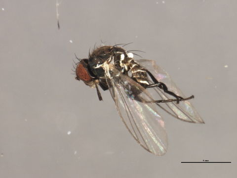 Image of <i>Phytomyza evanescens</i> Hendel 1920