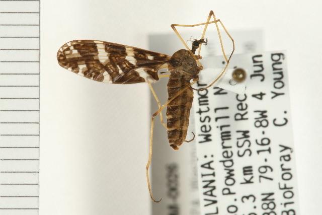 Image of <i>Protoplasa fitchii</i> Osten Sacken 1860