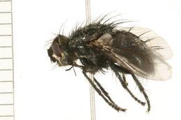 Image of Panzeria Robineau-Desvoidy 1830