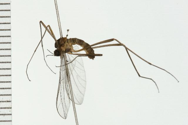 Image of net-winged midges