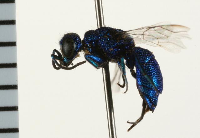 Image of cuckoo wasps
