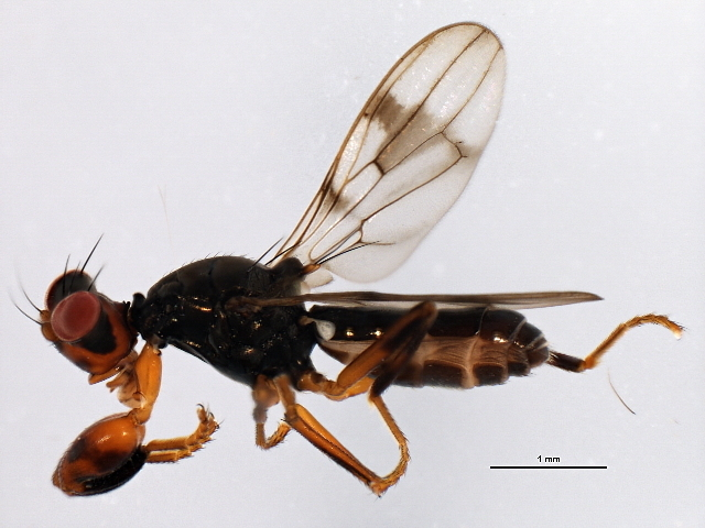 Image of <i>Sphyracephala subbifasciata</i> Fitch 1855