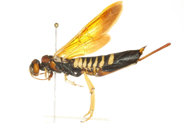 Image of Pigeon Tremex