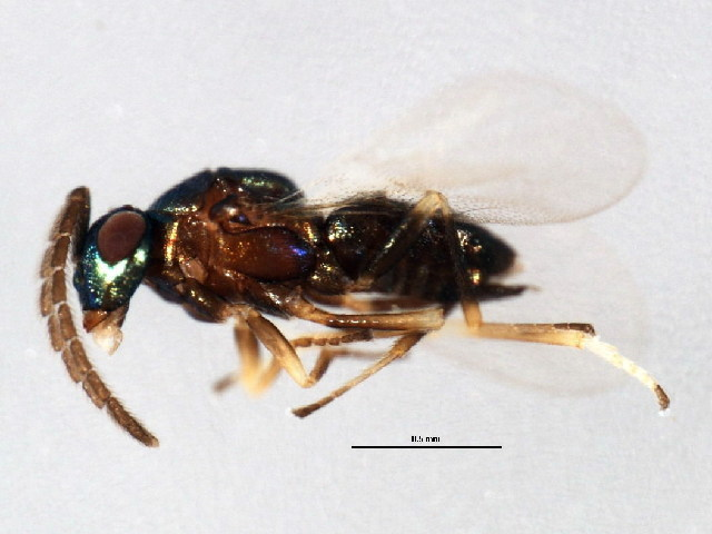 Image of Copidosoma