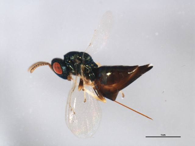 Image of <i>Pteromalus hieracii</i> (Thomson 1878)