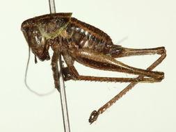 Image of <i>Metrioptera roeseli</i>