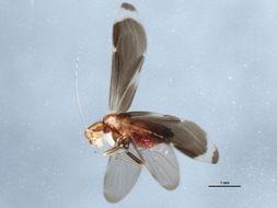 Image of <i>Polypsocus corruptus</i> (Hagen 1861)