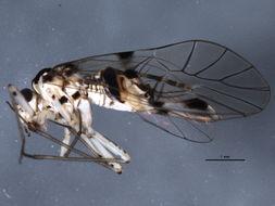 Image of <i>Psocus leidyi</i> Aaron 1886