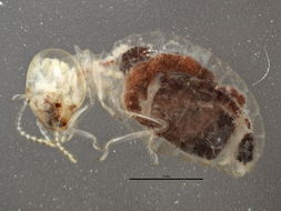 Image of higher termites