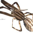 Image of <i>Uloborus walckenaerius</i> Latreille 1806