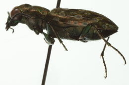 Image of <i><i>Elaphrus</i></i> (Elaphrus) <i><i>americanus</i></i> americanus Dejean 1831