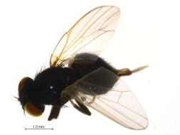 Image of <i>Lonchaea</i>